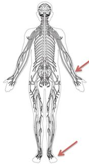 CMT Skeleton with Hands and Feet Highlighted