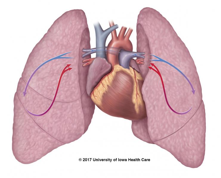 Heart and lung illustration