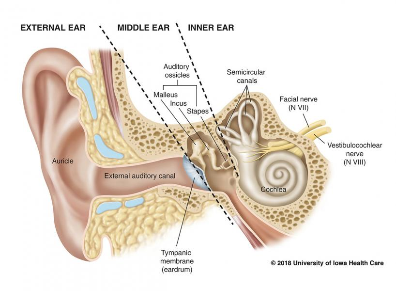 Detailed anatomy of the hearing organs