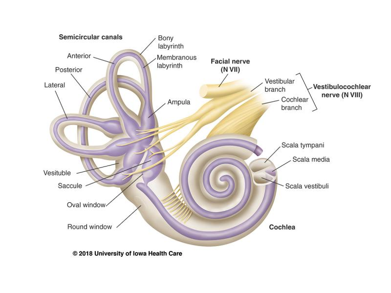 Details of inner ear anatomy