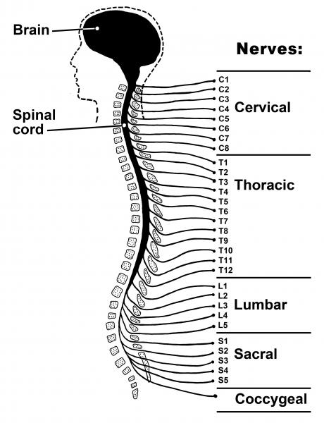 Spinal nerves drawing